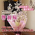 山形の啓翁桜 (優雅に飾れる長さ 100cm