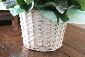 シクラメン 観葉植物 インテリアグリーン 送料無料 ネット通販花屋花樹有(かじゅある )