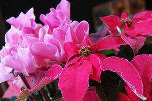 シクラメン ポインセチア 寄せカゴ 観葉植物 インテリアグリーン 送料無料 ネット通販花屋花樹有(かじゅある )