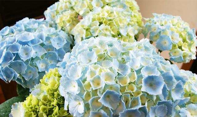 父の日フラワーギフト インテリアグリーン アジサイ カメレオン 送料無料 ネット通販花屋花樹有(かじゅある )