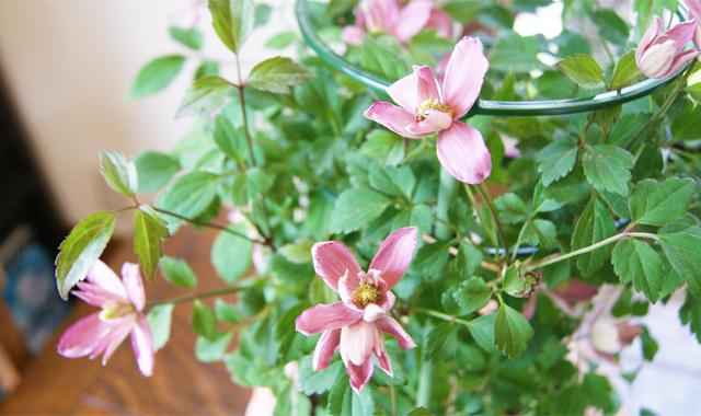 父の日フラワーギフト インテリアグリーン クレマチス鉢植え 送料無料 ネット通販花屋花樹有(かじゅある )