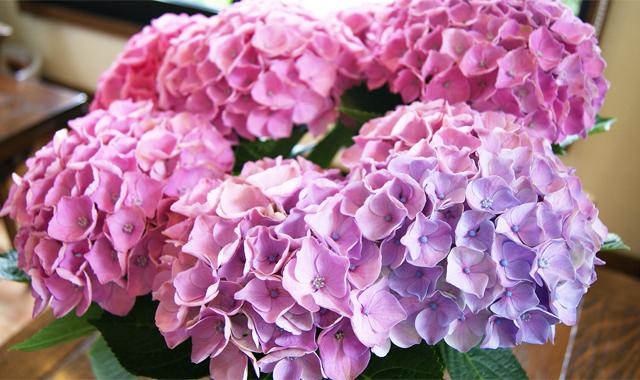 紫陽花アジサイ 鉢植え インテリアグリーン 送料無料 ネット通販花屋花樹有(かじゅある )