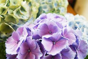 紫陽花アジサイ 鉢植え 色合い