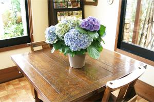 紫陽花アジサイ 鉢植え サイズ