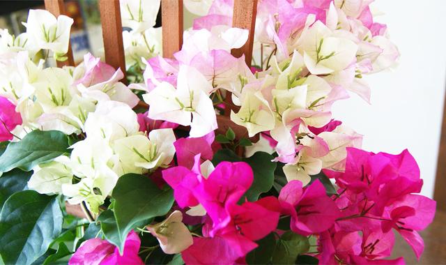 インテリアグリーン観葉植物 ブーゲンビリア 鉢植え 送料無料 ネット通販花屋花樹有(かじゅある )