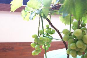 葡萄(ぶどう)巨峰 鉢植え 観葉植物 インテリアグリーン 送料無料 ネット通販花屋花樹有(かじゅある )