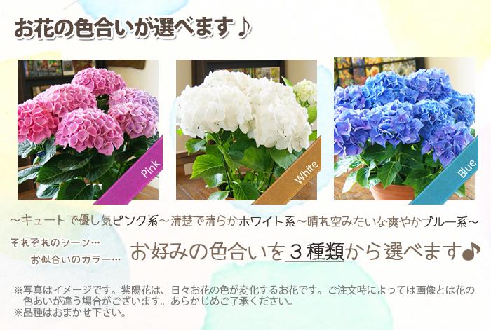 紫陽花アジサイ 鉢植え 3色から選べる