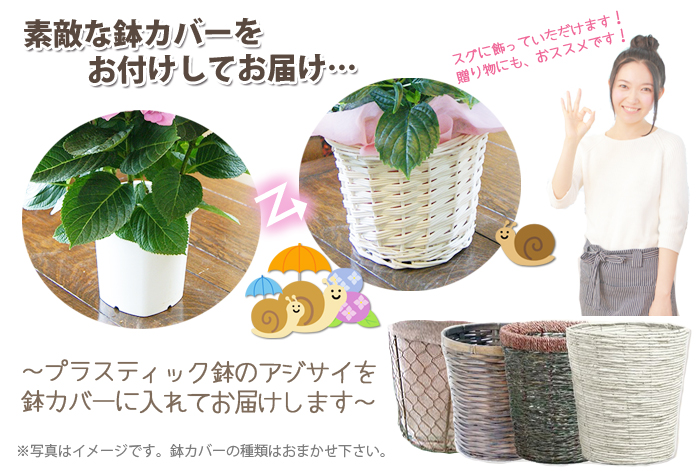 紫陽花アジサイ 鉢植え 鉢カバー
