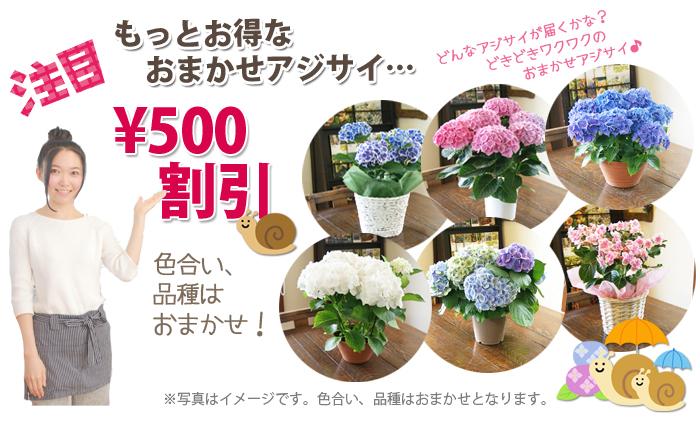 紫陽花アジサイ 鉢植え 色おまかせ