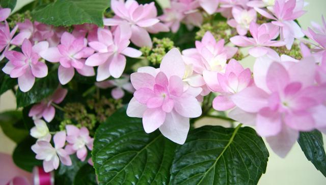紫陽花アジサイ  ダンスパーティー 鉢植え インテリアグリーン 送料無料 ネット通販花屋花樹有(かじゅある )