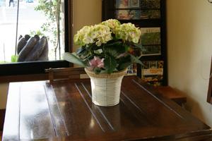 紫陽花アジサイ あじさい マジカルシリーズ 鉢植え ネット通販花屋花樹有(かじゅある )