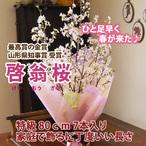 山形の啓翁桜 家庭で飾れる丁度良い長さ 80cm