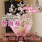 山形の啓翁桜 豪快に飾れるロングサイズ125cm
