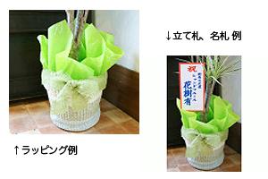 紫陽花アジサイ 鉢植え ラッピング