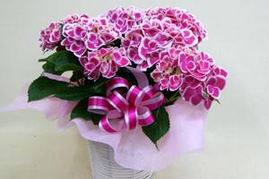 紫陽花アジサイ  チボリ 鉢植え インテリアグリーン 送料無料 ネット通販花屋花樹有(かじゅある )